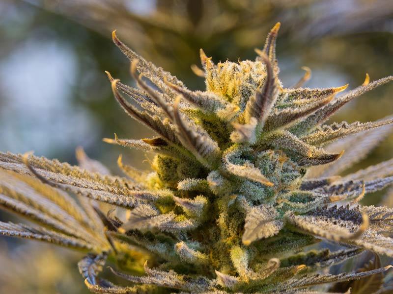 Cannabis 2152602 1920