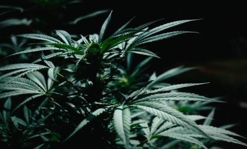 Cannabis At Christmas