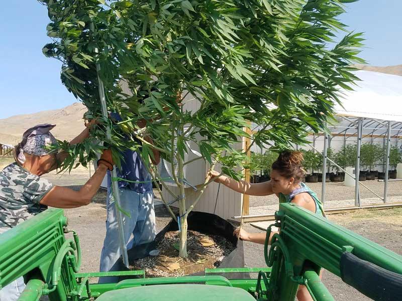Ontario Cannabis Plant